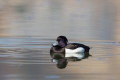 Męski kiciasty kaczki aythya fuligula dosypianie na wodzie, oczy zamyka Zdjęcia Royalty Free