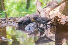 Męski kos przy lasowym basenem Obrazy Royalty Free