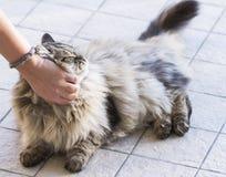 Męski kot siberian traken, brown tabby wersja w cuddling czasie Zdjęcia Royalty Free