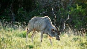 Męski kudu Fotografia Stock