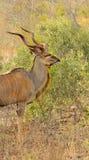 Męski kudu Fotografia Royalty Free