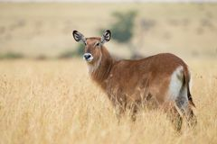 Męski kudu antylopy Tragelaphus strepsiceros w naturalnym siedlisku, Etosha park narodowy, Namibia Zdjęcia Stock