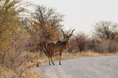 Męski kudu w Etosha Obrazy Royalty Free