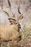 Męski kudu w Kruger parku narodowym Obraz Royalty Free
