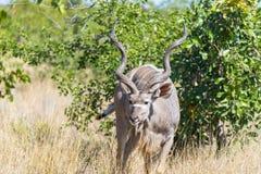 Męski kudu w krzaku Obraz Stock