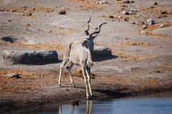 Męski kudu w waterhole w Etosha parku narodowym w Namibia, Zdjęcia Royalty Free