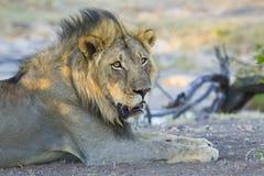 Męski lew Botswana (Panthera Leo) Fotografia Royalty Free