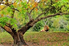 Męski lew & drzewo (Panthera Leo) Zdjęcie Stock