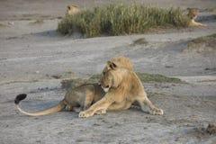 Męski lew na bankach Jeziorny Maska, Serengeti, Tanzania Obrazy Stock