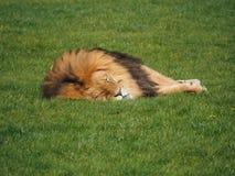 Męski lew na trawie Obrazy Royalty Free