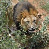 Męski lew, Namibia Obrazy Royalty Free