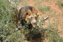 Męski lew, Namibia Zdjęcia Stock