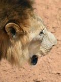Męski lew, Namibia Obraz Royalty Free