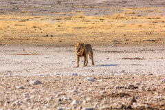 Męski lew Namibia Obrazy Stock