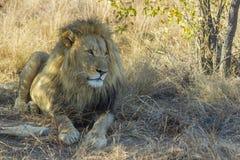 Męski lew odpoczywa w cieniu Obrazy Royalty Free