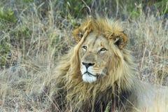 Męski lew odpoczywa w cieniu Obraz Stock