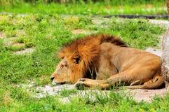 Męski lew odpoczywa w zoo (Panthera Leo) Zdjęcia Stock