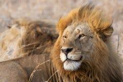 Męski lew patrzeje z lewej strony obraz stock