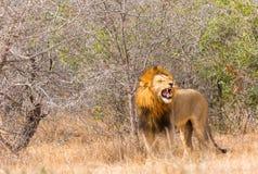 Męski lew podczas kotelni sesi Fotografia Stock