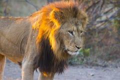 Męski lew przy zmierzchem 1 Fotografia Royalty Free