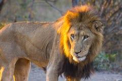 Męski lew przy zmierzchem 2 Fotografia Stock