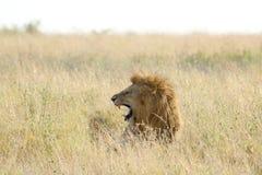 Męski lew ryczy w obszarze trawiastym Obrazy Royalty Free
