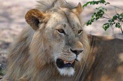 Męski lew szuka niektóre cieni Fotografia Stock