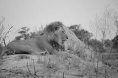 Męski lew w Botswana, Afryka Zdjęcia Royalty Free
