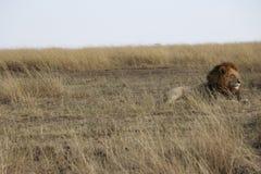 Męski lew w dzikim maasai Mara Obrazy Royalty Free