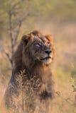 Męski lew w Kruger park narodowy Fotografia Royalty Free