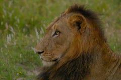 Męski lew w Kruger parku narodowym (Panthera Leo) Fotografia Royalty Free