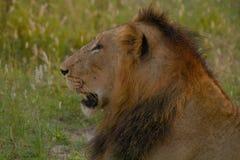 Męski lew w Kruger parku narodowym (Panthera Leo) Zdjęcie Royalty Free
