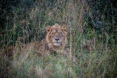 Męski lew w krzaku Obrazy Stock