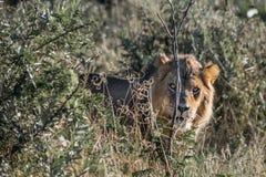 Męski lew w krzaku Zdjęcia Stock