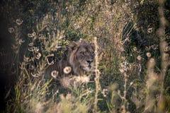 Męski lew w krzaku Fotografia Royalty Free