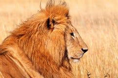 Męski lew w Masai Mara Zdjęcie Royalty Free