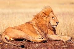 Męski lew w Masai Mara Obraz Royalty Free