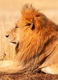 Męski lew w Masai Mara Zdjęcia Royalty Free
