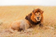 Męski lew w Masai Mara Fotografia Stock