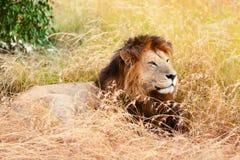 Męski lew w Masai Mara Zdjęcie Stock