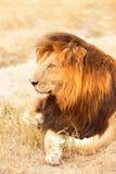 Męski lew w Masai Mara Obrazy Royalty Free