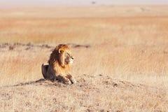 Męski lew w Masai Mara Fotografia Royalty Free