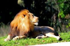 Męski lew w niewoli Fotografia Stock