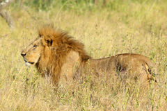 Męski lew w sawannie Obraz Royalty Free