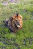 Męski lew w trawie Obrazy Royalty Free