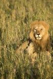 Męski lew w wysokich trawach, Serengeti, Tanzania Zdjęcia Stock