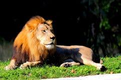 Męski lew w zoo Obrazy Royalty Free