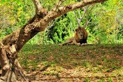 Męski lew w zoo (Panthera Leo) Zdjęcia Royalty Free