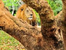 Męski lew za drzewem (Panthera Leo) Fotografia Stock