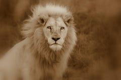 męski lwa biel Obraz Royalty Free